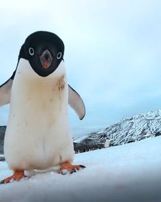 Cute Funny Animals, Cute Baby Animals, Animals And Pets, Penguin Pictures, Funny Animal Pictures, Pinguin Video, Dog Day Afternoon, Baby Penguins, North Pole