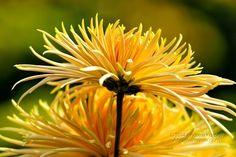 Kertészet.  Csábító Sárga Krizantém