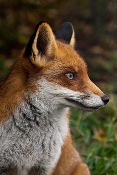 Red Fox by Sophie L. Miller