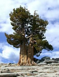 "Oldest tree - 5,000yrs. Named after Methuselah, a Biblical figure reputed to have lived 969 years. Located in the ""Forest of Ancients"" in the Methuselah Grove at between 2,900–3,000 m above sea level, its exact location is currently undisclosed to the public as a protection against vandalism."