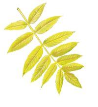 American Mountain Ash Leaf