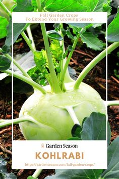 Kohlrabi | Fall Garden Crops To Extend Your Growing Season | Kohlrabi is indeed an unusual vegetable for a large part of the world with stems sticking out from what looks like a bulb. That bulb is actually the edible part, which tastes like the inside of a cauliflower's stem. The greens are also edible! Easy Vegetables To Grow, Fruits And Veggies, Autumn Garden, Edible Garden, Stick It Out, Stems, Vegetable Garden, Cauliflower, Bulb