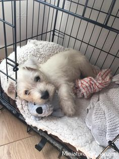 Amazing Miniature Schnauzer Blonde Source by The post Miniature Schnauzer Cartoon appeared first on Douglas Dog Hotel. Animals And Pets, Baby Animals, Funny Animals, Cute Animals, Cute Puppies, Cute Dogs, Dogs And Puppies, Doggies, Chihuahua Dogs
