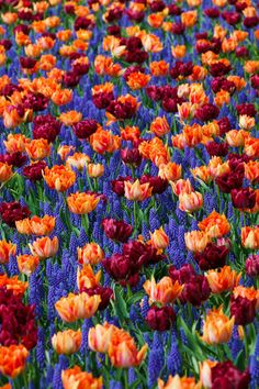 Tulips and muscari!! I will have to plant these combos in pots because of the clay soil and deer!