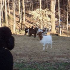 goats love to look at Giant Poodle