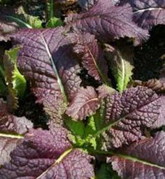 The Benefits of Growing Mustard - edible & ornamental