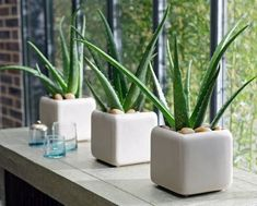 Aloe Vera Plants also serve for many other health purposes #easyhouseplants
