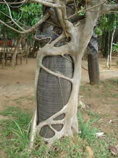 Strangler Fig Tree. Wrapping tendrils around the host tree.. By orenbrimer on Flickr: