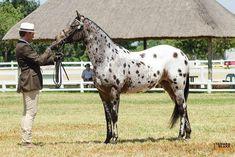Funny Horses, Appaloosa Horses, Horse Breeds, Cute, Animals, Animales, Animaux, Kawaii, Animal