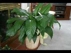 Peace Lily Care - Spathiphyllum plant QUESTIONS ANSWERED] Peace lily not flowering? Why Flowers turn green? Are they poisonous? When do they bloom? Peace Lily Care, Peace Lily Plant, Tall Plants, Indoor Plants, Detox Your Home, Gardening For Dummies, Household Plants, Yard Care, Water Plants