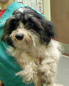 SAFE 04/08/15 --- Manhattan Center  BUNNY – A1032054  FEMALE, BLACK / WHITE, HAVANESE, 5 yrs OWNER SUR – EVALUATE, NO HOLD Reason MOVE2PRIVA Intake condition UNSPECIFIE Intake Date 04/03/2015 http://nycdogs.urgentpodr.org/bunny-a1032054/