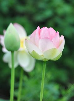 lotus blossoms and bud and bokeh by morris 811, via Flickr