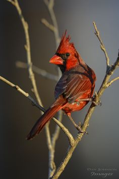 Northern Cardinal - Over the Shoulder - by Wessonnative