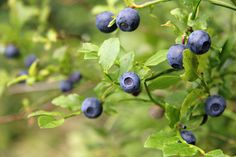 Fertilizing blueberries is an excellent way to maintain the health of your blueberries. Find more information about fertilizer for blueberries and how best to fertilize them in this article.