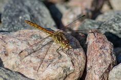 Dragonfly by Jon Lindström on 500px