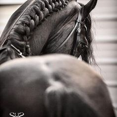 Photo by #stunningsteeds #cheriprill #horsephotographer #horsephotography #equinephotographer #equinephotography #stallion #caballo #frison #friesian #blackhorse #horse #dressage #dressagehorse #equine #pferd #cheval #baroquehorse
