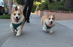 It's two life-changingly cute corgis walking down the street right towards you. Are they brothers? YUP. Looks like it. | WARNING: THESE CORGIS ARE COMING FOR YOU