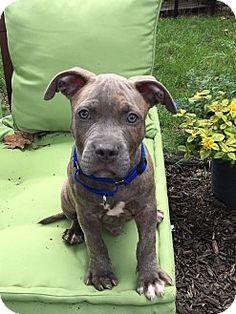 Warrenville, IL - Pit Bull Terrier Mix. Meet Remi, a puppy for adoption. http://www.adoptapet.com/pet/16431163-warrenville-illinois-pit-bull-terrier-mix