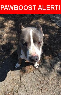 Is this your lost pet? Found in San Leandro, CA 94577. Please spread the word so we can find the owner!  I found this Pitt Bull on San Leandro Blvd around 98th, he had a collar but no tags. Sweet male gray & white Pitt bull, not neutered. He is friendly to people, dogs and cats. I am fostering him while searching for his family.  Nearest Address: San Leandro Blvd and 98th Street, Oakland