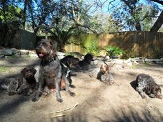 German Wirehaired Pointers rule !!