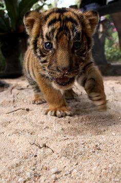 Baby Tiger by Photo505 - Online Photo Effects, via Flickr