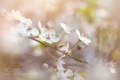 Wild Cherry Blossom by JackyParker. @go4fotos