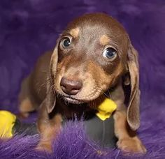 Miniature dachshunds for sale herefordshire