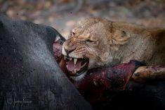 Animal Action, Lion, Animals, Leo, Animales, Animaux, Lions, Animal, Animais