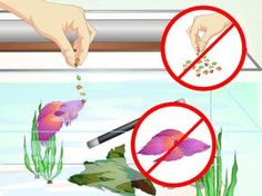 Betta fish are very popular. In fact, in the pet fish world, they may be nearly as popular as goldfish.http://www.fishlore.com/Profiles-Betta.htm With their beautiful coloration and flowing tails,http://www.fishlore.com/Profiles-Betta.htm...