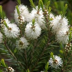 Tea tree oil derives from the shrub Melaleuca alternifolia. Hence why Melaleuca Oil called Tea Tree Oil, it is the same oil different names. The post Melaleuca a. tea tree oil and how to use it appeared first on Inspire Health and Spirit. Australian Tea Tree, Australian Native Garden, Australian Flowers, Tea Tree For Acne, Tea Tree Oil Uses, Natural Insecticide, Tea Tree Essential Oil, Essential Oils, Herb Seeds