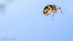 Spider by Tavo