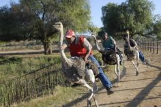 Ostrich jockeys at Highgate Farm in Oudtshoorn, South Africa showing off their skills. Knysna, Great Places To Travel, Visit South Africa, Ostriches, World Travel Guide, Arizona Usa, Animal Facts, Look At You, Africa Travel
