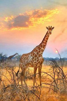 Giraffe at sunrise.