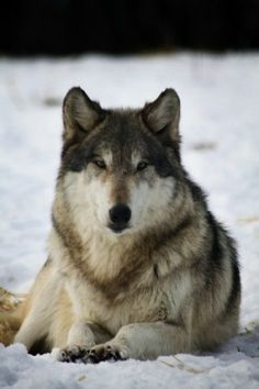 wolf_snow_Alex Clarke_250x375