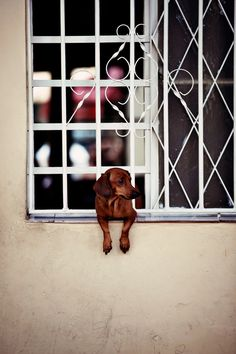 {little doxie at the window} by Virginie Fréchette, Cuba