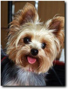 What a precious dog!! | #TeeVogue #Love #Yorkie