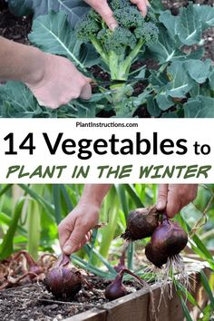 Winter is almost here and you might think the growing season is over. Well, there are actually a ton of vegetables you can grow in winter and today we will share a list of them! Planting Vegetables, Growing Vegetables, Winter Vegetables To Grow, How To Plant Vegetables, Regrow Vegetables, Growing Swiss Chard, Growing Spinach, Container Gardening, Gardening Tips