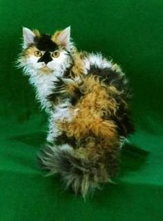 Calico Selkirk Rex - only curly haired cat Selkirk Rex, Grey Cat Breeds, Fluffy Cat Breeds, Curly Haired Cat, Curly Cat, Laperm, Cornish Rex, Pretty Cats, Beautiful Cats