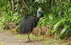 Southern cassowary in Northern Queensland