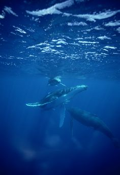 Humpback Whale (Megaptera novaeangliae) mother and calf, Tonga by Mike Parry
