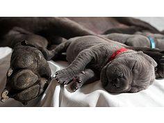 Dog breeder welcomes 27 baby mastiffs in same week - Pets Baby Animals, Funny Animals, Cute Animals, Sleepy Animals, Nature Animals, Mastiff Puppies, Dogs And Puppies, Doggies, Neo Mastiff