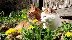 タンポポの花と白と茶トラ Cat and flower 2016#2 170515