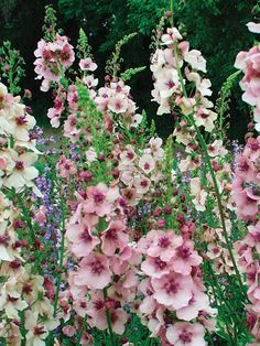 Verbascum Southern Charm, 3' tall, mid spring to mid summer