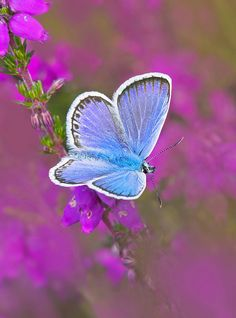 Silver Studded Blue Butterfly- key wildlife in cornwall Butterfly Kisses, Butterfly Flowers, Blue Butterfly, Butterfly Quotes, Butterfly Pictures, Butterfly Wings, Beautiful Bugs, Beautiful Butterflies, Amazing Nature