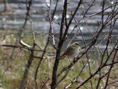 Willow Warbler / Løvsanger / Phylloscopus trochilus