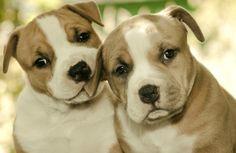 Why Pit Bulls Don't Deserve a Bad Rap - Pet360 Pet Parenting Simplified