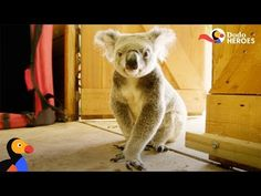 Rescued Koala Gets Help From His Favorite Girl Moving Pictures, Season 1, Animal Rescue, Best Friends, How To Memorize Things, Cute Animals, Fire, Youtube, Animals