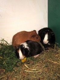 Internetowy sklep zoologiczny ZooFaktor - ŚWINKA MORSKA (Cavia porcellus)
