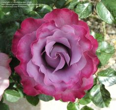 "Floribunda ""Angel Face"" Rose Standard"