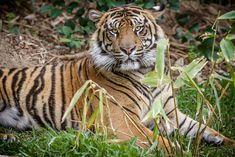 Sumatran Tiger | by Bob Worthington Photography